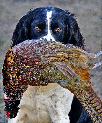 cocker pheasant