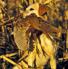 gun dog trainging with pheasant