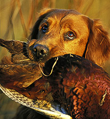 pheasant training