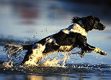 English Springer Spaniel gun dog training