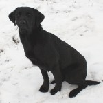 Absolute gun dogs Started British lab