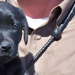 British Lab puppies for sale