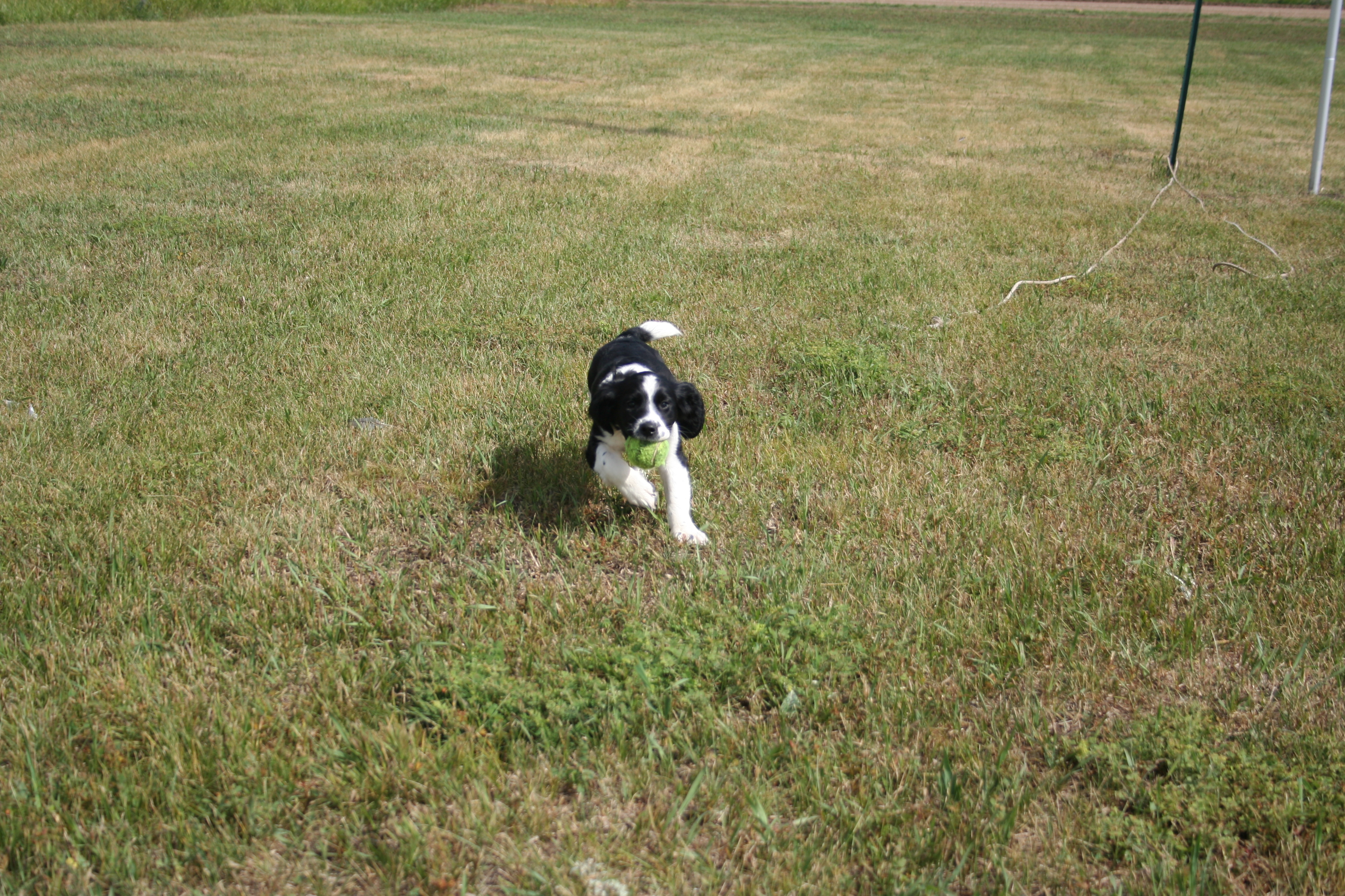 Training Spaniel Puppies English Springer Spaniel Puppy