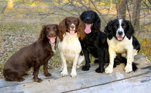 English Cockers and English Springer Spaniels