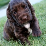 Field-Bred English Cocker Spaniel puppies for sale
