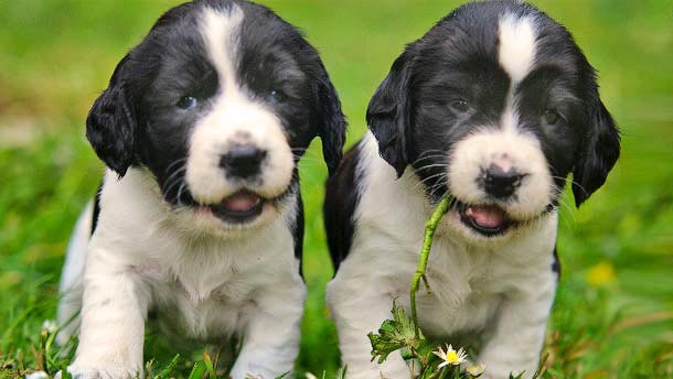 Spaniel breeding puppies